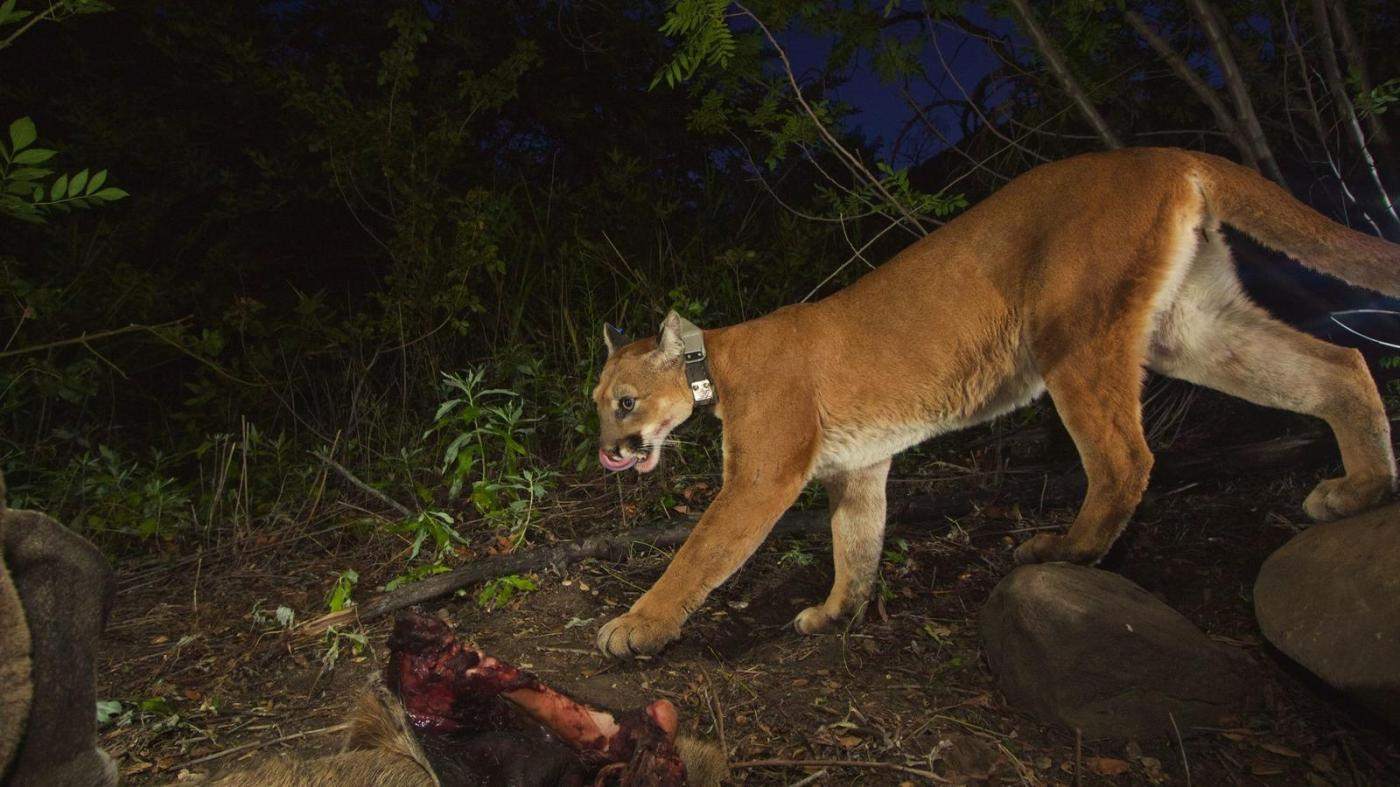 Mountain lion P-39 has been struck and killed on the 118 freeway near Chatsworth. (Photo: National Park Service)